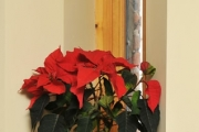Long Barn poinsettia