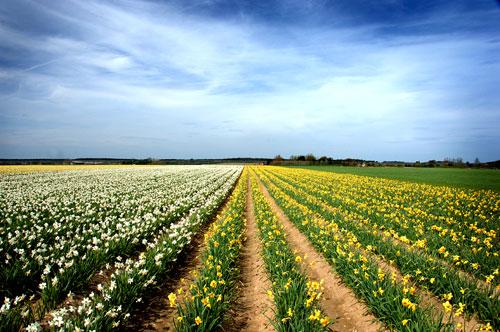 Daffodil fields at Rookery Farm, Norfolk